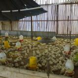 Kotoran Ayamnya Bisa Untuk Memasak